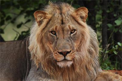 Lejonhane ligger och vilar i naturreservat i Botswana