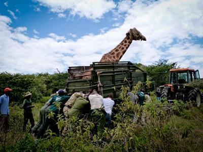 Volontärer och personal omflyttar giraff vid naturvårdsprojekt i Kenya