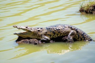 Volontärarbeta med krokodiler vid naturvårdsprojektet i Mexiko