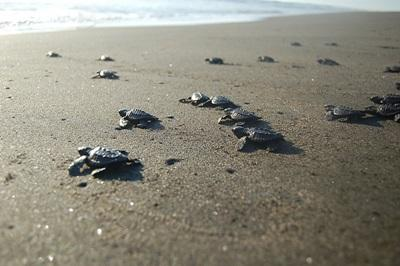 Turtles on the beach where volunteers on the Conservation project live and work