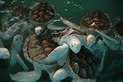 Sea turtles in the ocean on the Conservation project in Mexico