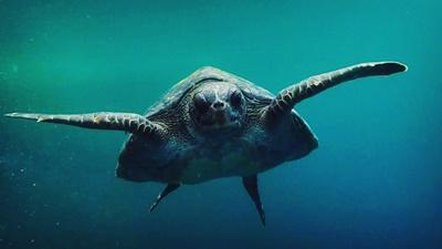 Undervattensfoto av havssköldpadda vid volontärprojekt på Galapagosöarna