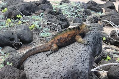 Leguan vilandes på sten, fångad på bild av volontär vid naturvårdsprojekt i Ecuador