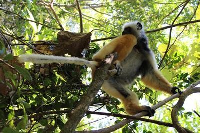 En av många olika arter av lemurer som lever i regnskogen på Madagaskar