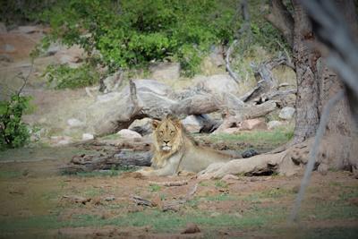 Lejon vid volontärprojekt i södra Afrika vilar sig i skuggan av ett träd