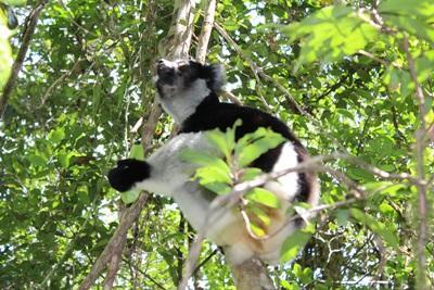 En av Madagaskars många olika aparter sitter i träd i regnskogen
