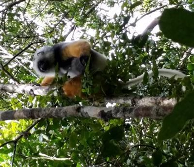 Lemur fångad på bild i trädkrona vid naturvårdsprojekt på Madagascar.