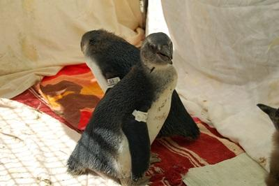 Volunteers take care of penguins on the Animal Care project in South Africa
