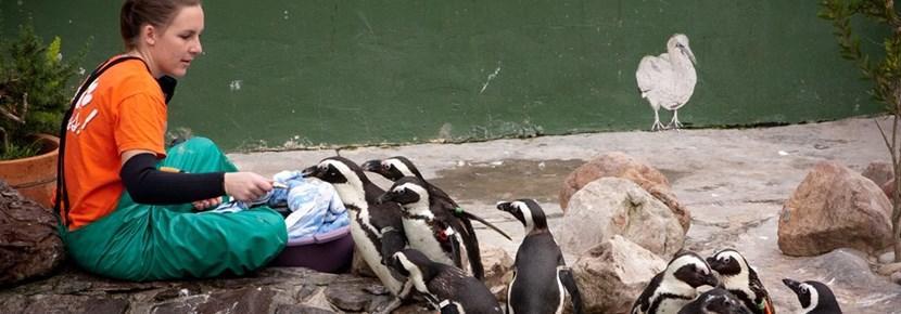 Volontär matar pingviner vid djurprojekt utomlands.