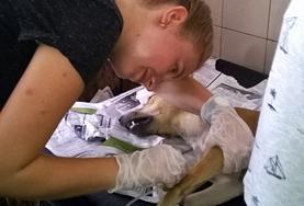 Volontär med djur utomlands : Samoa