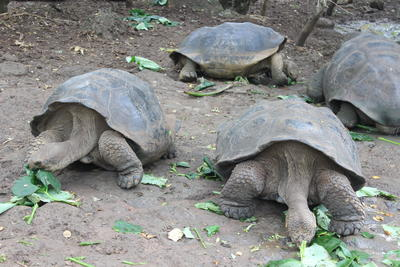Jättesköldpaddor vid naturvårdsprojekt i Ecuador