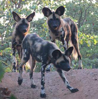 Vildhundar i Botswana