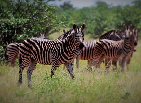 Zebror i Botswana