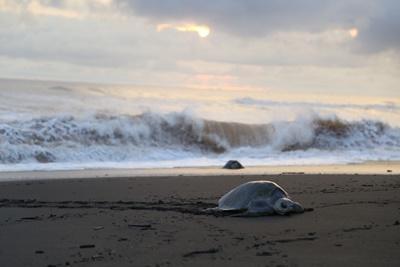 Beach scene with a turtle in Costa Rica