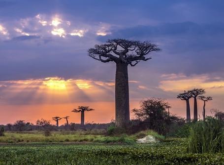 Baobabträd i solnedgång på Madagaskar